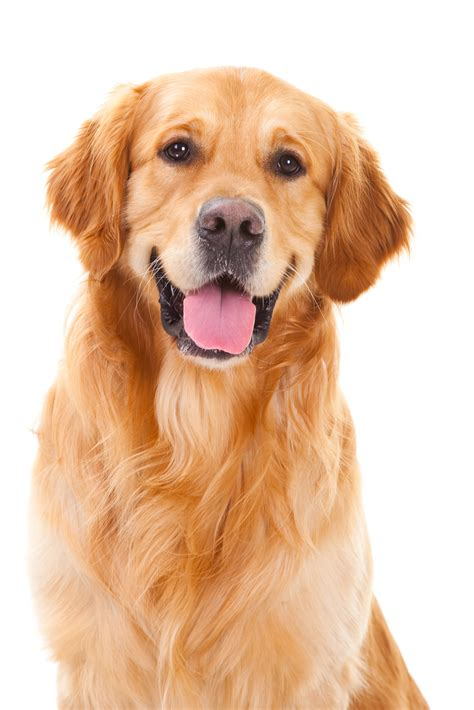 you golden retriever 5 things you should before getting a golden retriever animalso