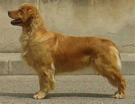 golden retriever sounds golden retriever silver sound s 263253