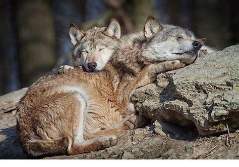 almohadas wikipedia husmeando por la red animales que usan a otros animales
