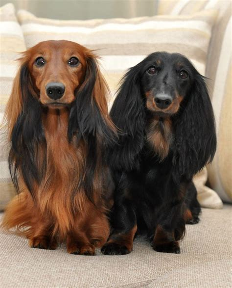 hair weiner best 25 haired dachshund ideas on daschund puppies haired mini