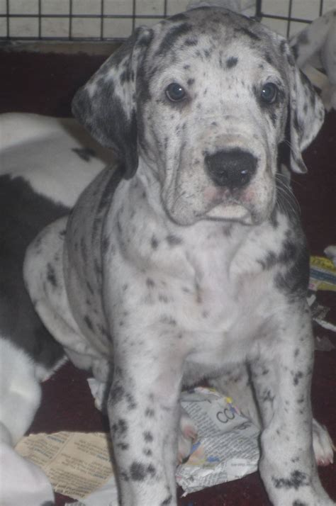 great dane puppies for sale in great dane puppies for sale bishops castle shropshire pets4homes