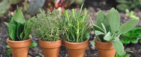 lavanda coltivazione in vaso lavanda variet 224 ricette descrizione e coltivazione