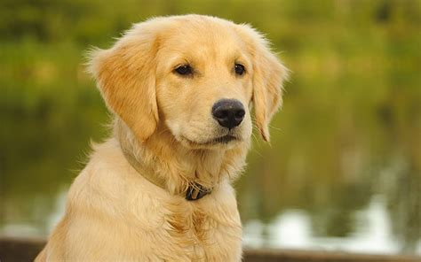 best golden retriever names golden
