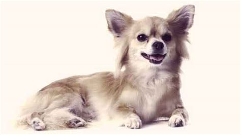 pictures of long haired chihuahua haircuts image gallery long haired chihuahua haircut