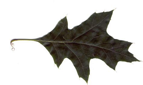 Alnarp 06 Black Oak Leaf By Dogcracker On Deviantart Black White Oak Leaf
