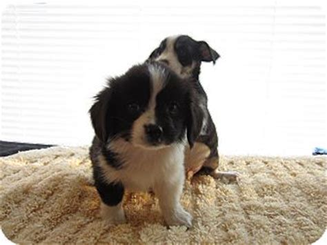 shih tzu puppies for adoption in ky shih tzu mix puppies adopted puppy ky shih tzu chihuahua mix