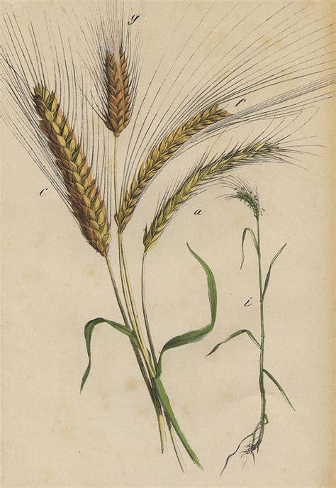 Wheat Botanical Drawing wheat drawing by german botanical artist