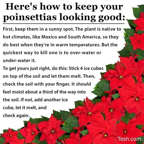 poinsettia care plant care pinterest