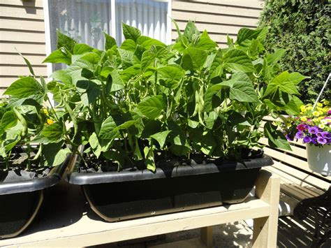 container gardening green beans grow green beans at home container garden club