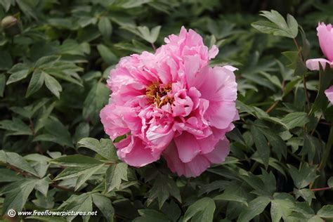 top 28 peonies when to plant peony plant picture