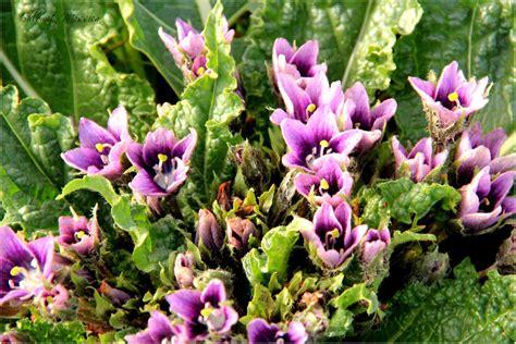 mandrake plant by shlomitmessica on deviantart