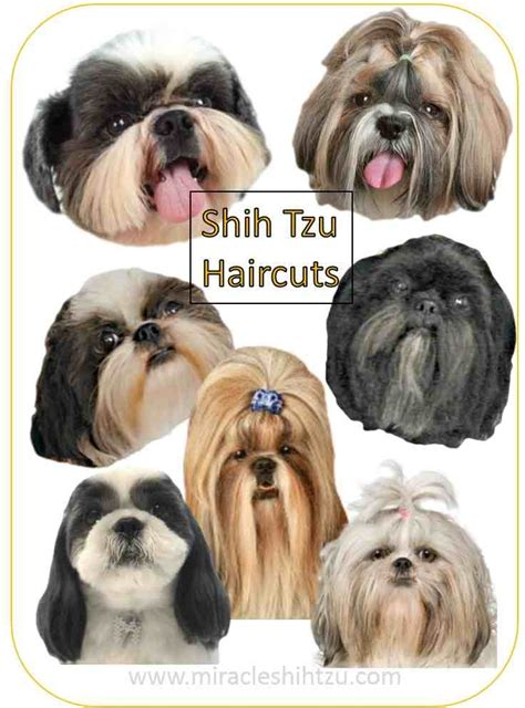shih tzu haircut style shih tzu top knot with breeds picture