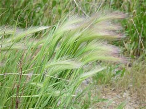 foxtail awns foxtail barley pictures
