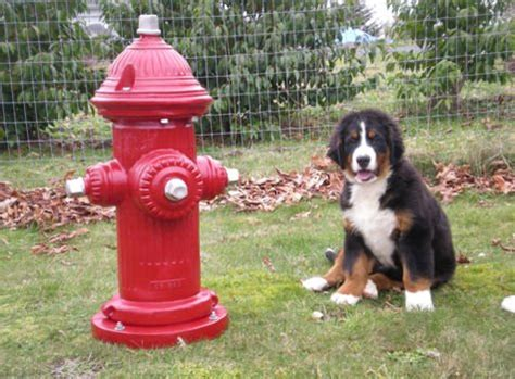 hydrant for dogs hydrants and dogs the facts about territorial marking animal fair wendy