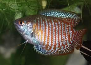 colorful freshwater fish colorful freshwater fish for beginners aquarium tidings