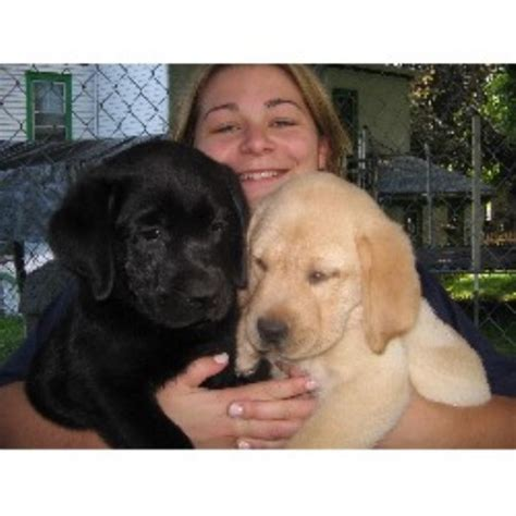 lab puppies for adoption in nj labrador retriever lab breeders in new jersey freedoglistings