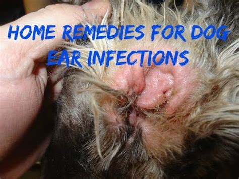 home remedies for cleaning dogs ears triotic so elaegypt