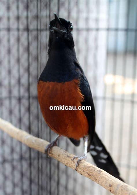 Harga Pakan Burung Merk Juara harga burung kacer jawara harga 11