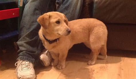 small lab pickle 6 9 month old female small labrador cross lewes