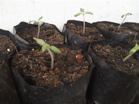 Bibit Terong Ungu Siap Tanam petani rumahan 8 menanam tomat ayo berkebun di