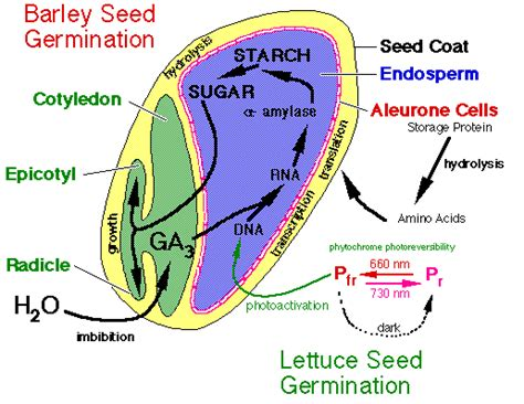 seed diagram gallery for gt dicot seed diagram