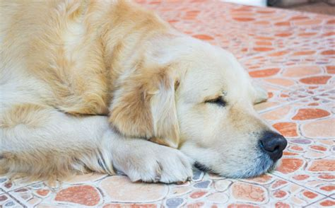 golden retriever appartamento golden retriever se adapta em apartamento merry