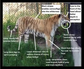 designeranimals2011 siberian tiger