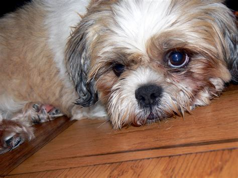 shih tzu and furbabies shih tzus furbabies smokey breeds picture