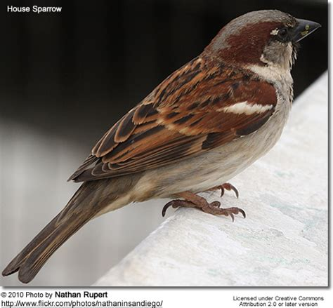 house sparrow gestation period