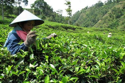 Teh Ekspor indonesia coba genjot akses pasar ekspor teh ke