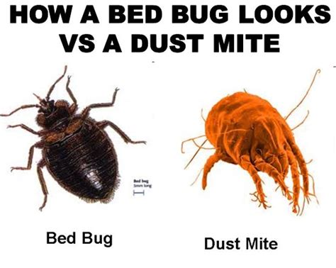 dust mites vs bed bugs 1 million dustmites are in your bed 1 thing destroys them
