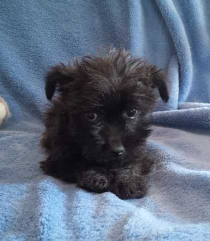 yorkie puppies edmonton yorkie puppies for adoption in calgary alberta for sale breeds picture