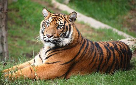 Fotos Animales Tigres | fotos de animales coleccion de fotos de tigres