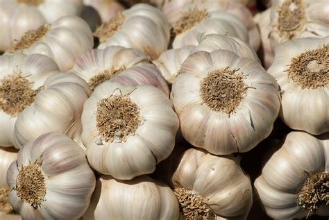 Plant Home Decor by Garlic Planting Growing And Harvesting Garlic Plants