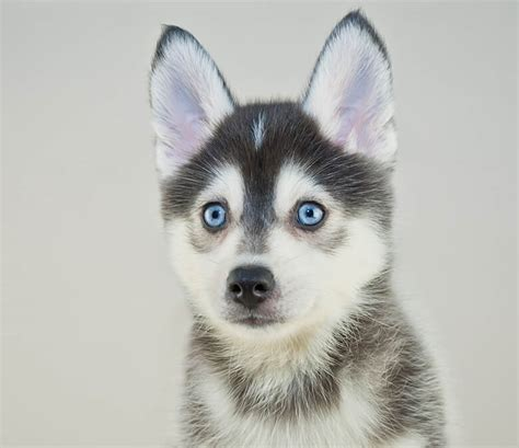 pomeranian husky pictures photo collection pomeranian husky pictures