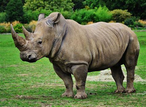 beautiful rhino  hd images wallpapers photoshoots