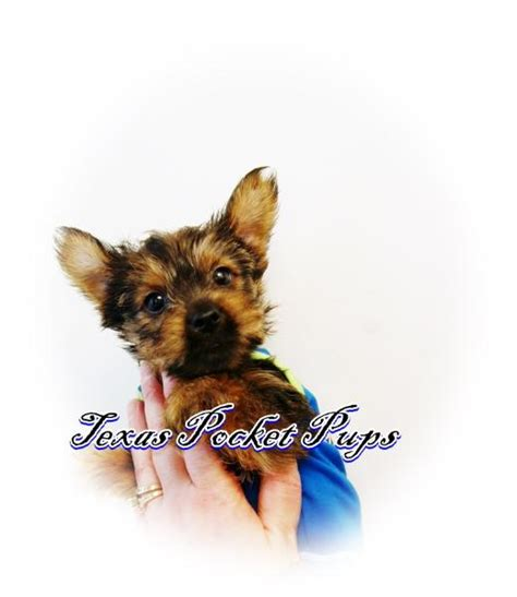 teacup yorkie puppies for sale in houston chocolate and white parti adopted breeds picture