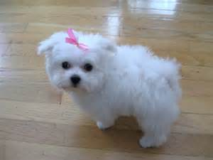 Maltese Puppies Such Dogs Breed Of The Month Maltese