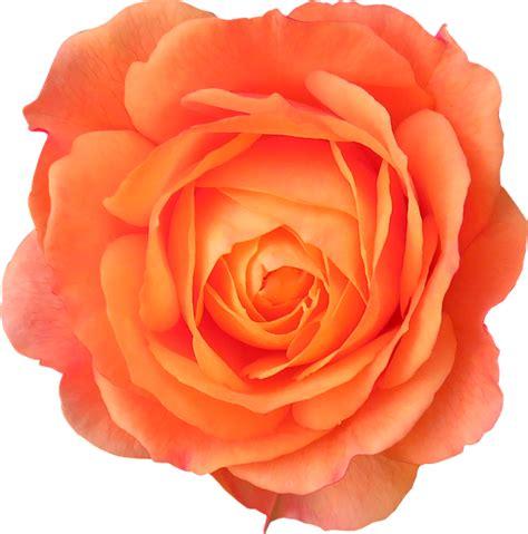 Orange Flowery flower orange 183 free photo on pixabay