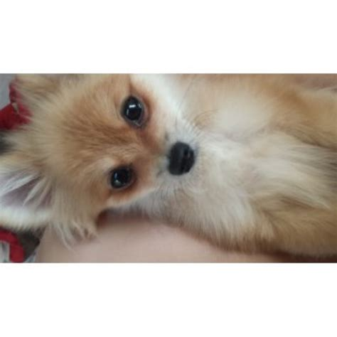 san diego pomeranian rescue pomeranian kennels dogs for free breeds picture