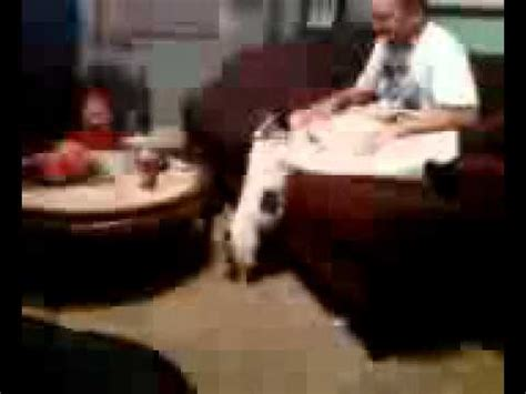 my dog licks the couch puppies dogs for sale dog jumping on couch youtube