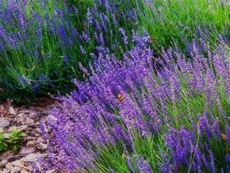 Lavendel Kaufen 300 by Gartenausstattung Samen Schenker G 252 Nstig