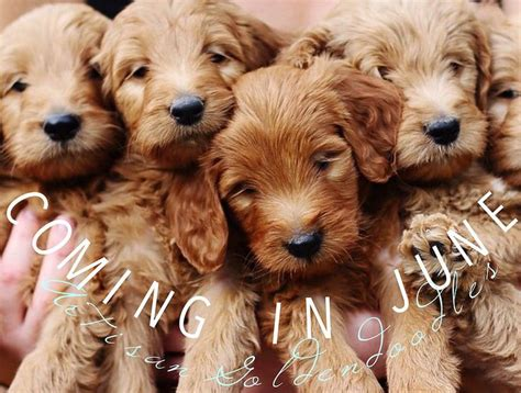 mini goldendoodle puppies for sale best 25 mini goldendoodle breeders ideas on