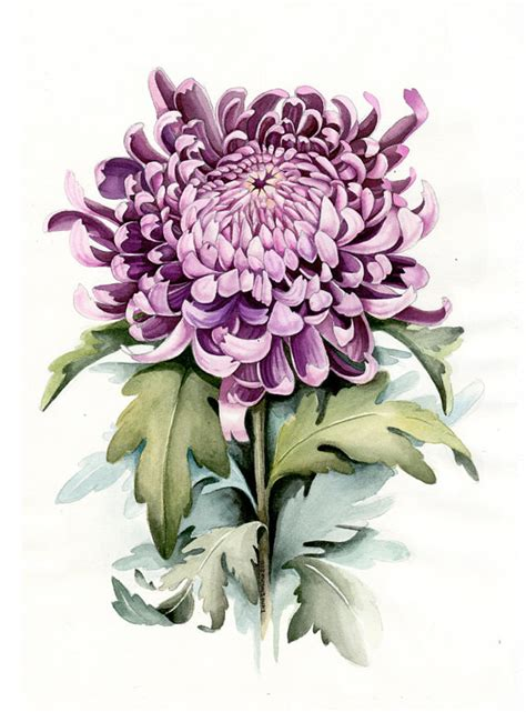 watercolor botanical illustration chrysanthemum art print