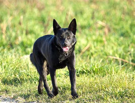 schipperke dogs schipperke breed information pictures characteristics facts dogtime