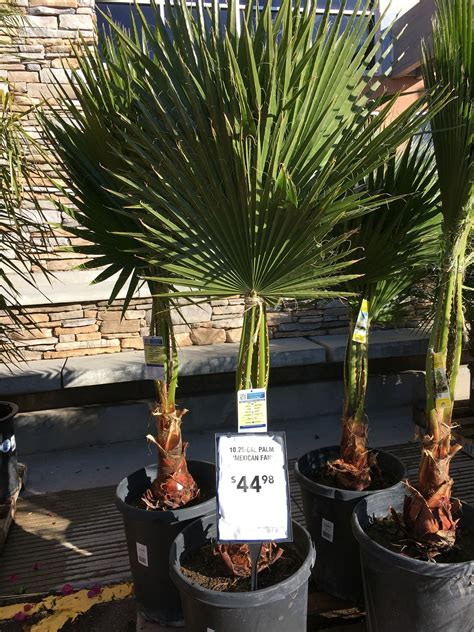 mexican fan palm tropical home depot mexican fan palm