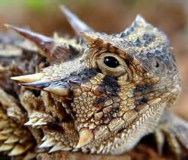 horned lizard pixdaus