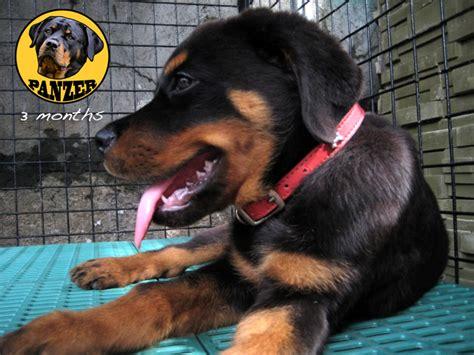 3 month rottweiler size 3 month rottweiler puppies car interior design