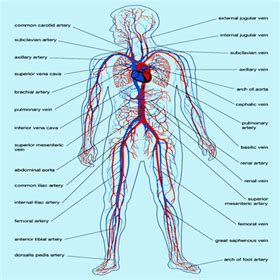 anatomy  circulatory system components functions  types
