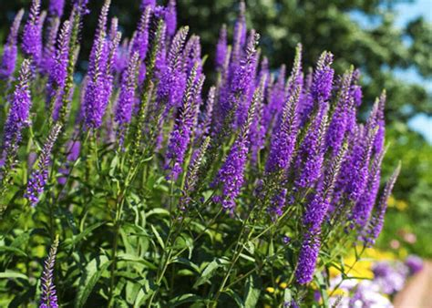 when is lavender in season in michigan 8 plants you can forget to water garden club
